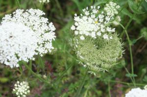 Umbellifer collection